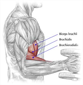 http://vonblancofitness.com/quick-tip-of-the-day-do-hammer-curls-to-develop-your-outer-biceps-brachialis/