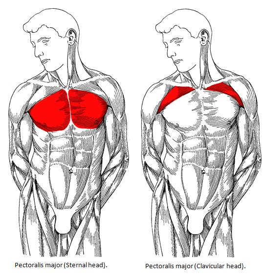 https://www.jackedfactory.com/best-chest-exercises-workouts/