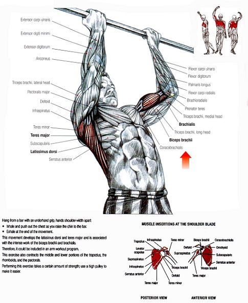 http://www.strengthsensei.com/resource-charles-poliquin-compilation-of-chin-up-tips/